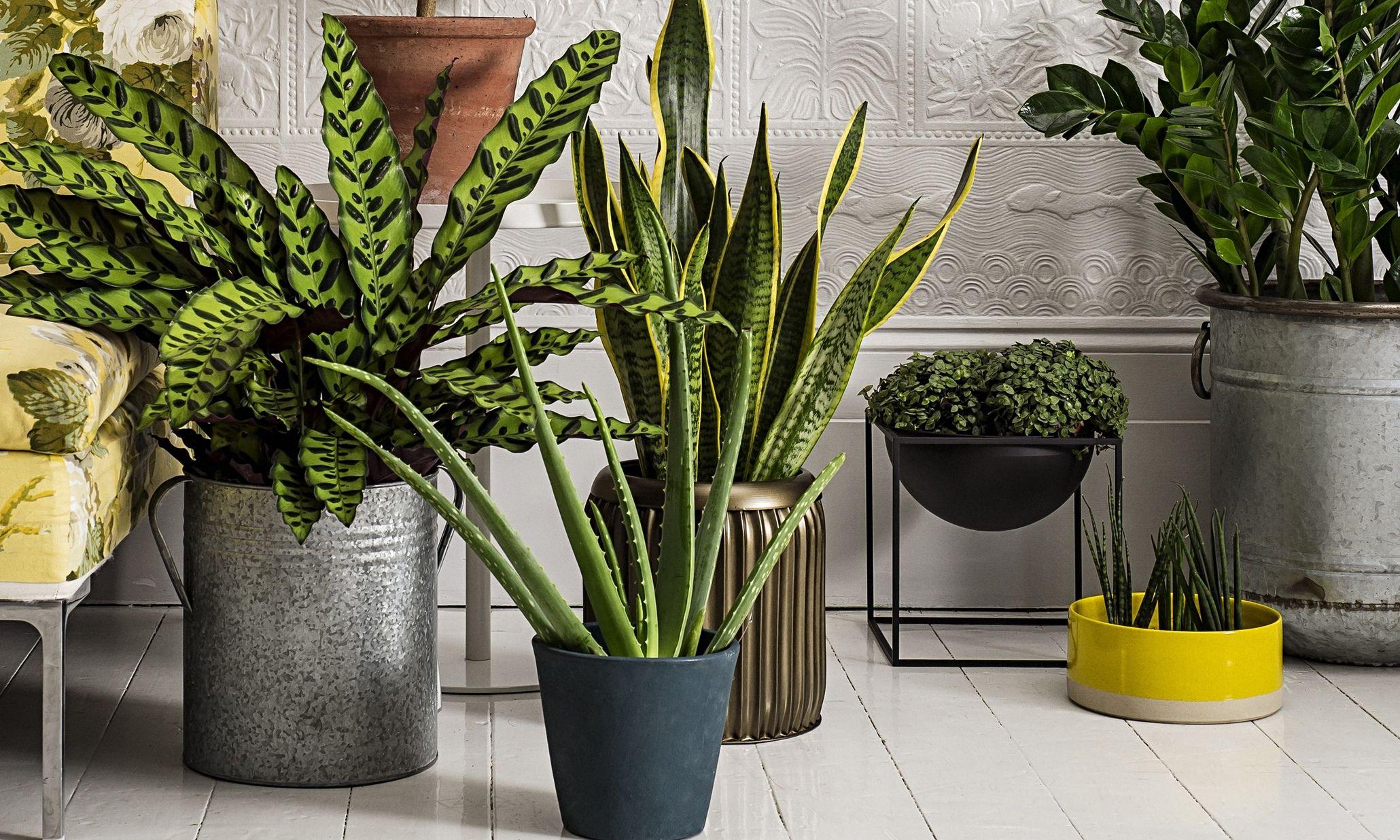 Sansevieria Plant Feng Shui biar lebih hoki, coba 6 tanaman depan rumah menurut feng
